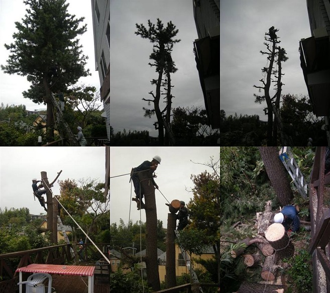 立ち木伐採